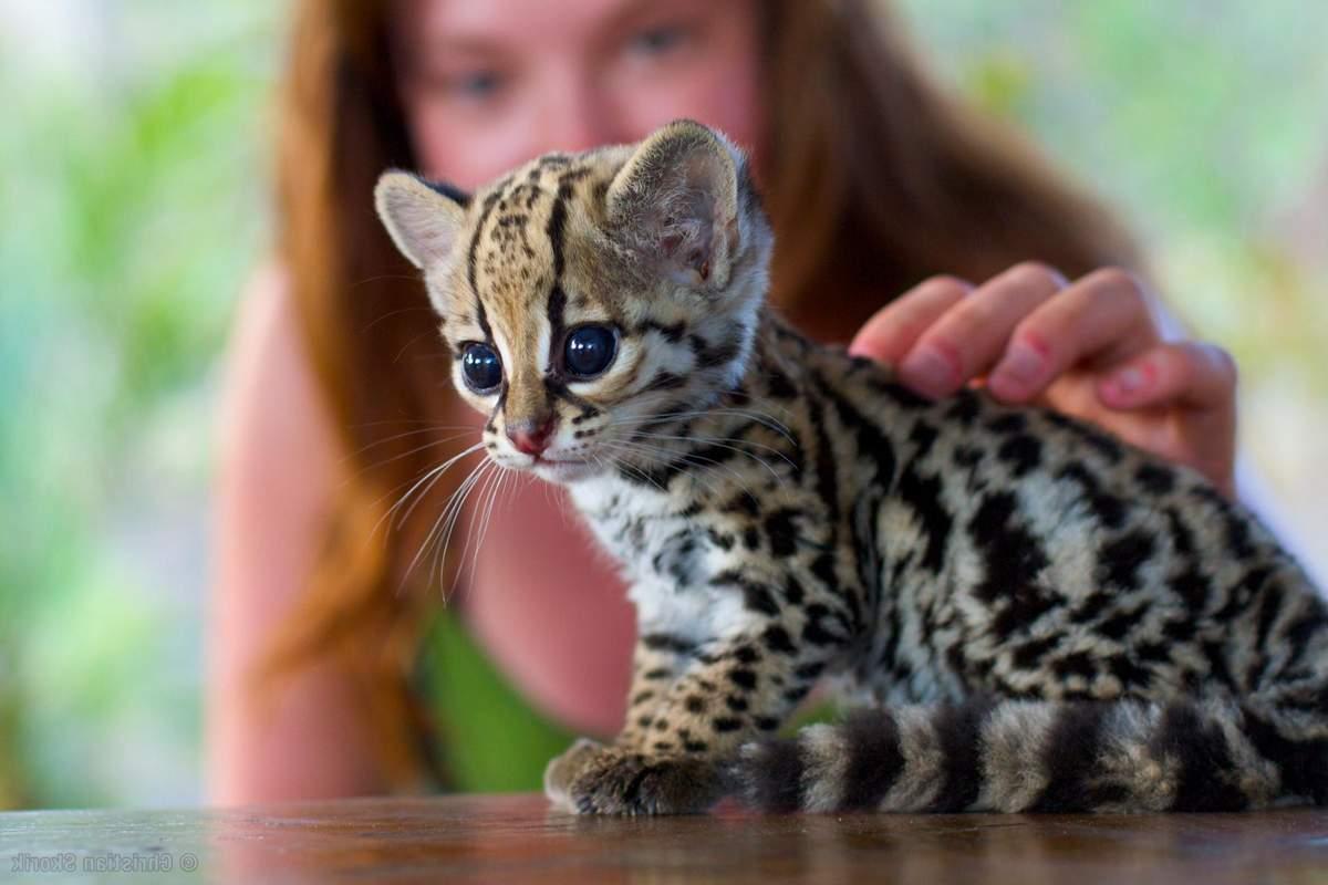 Самые редкие породы кошек с фотографиями и названиями