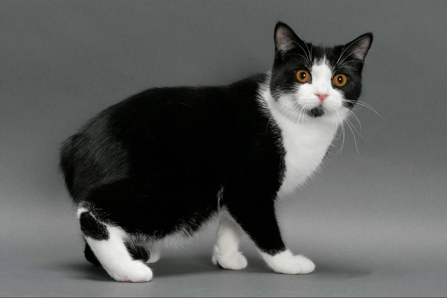 Мэнкс - фото и описание породы кошек (характер, уход и кормление)