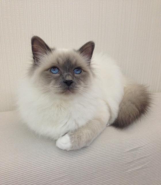 Бирманская кошка - описание и стандарт породы, окрас шерсти, характеристики и повадки, рацион питания