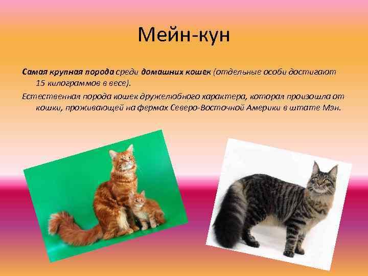 Все о характере мейн-кунов: описание породы и повадок, советы по содержанию