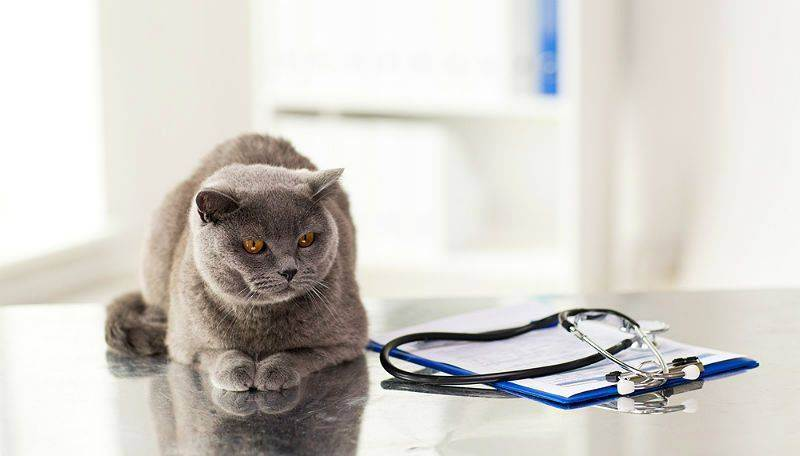 Стерилизация британских кошек: особенности, как подготовиться, уход