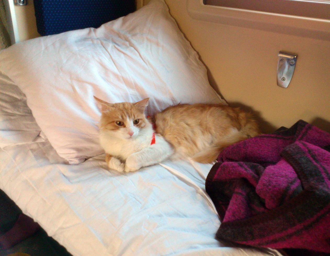 Как перевезти кошку в поезде или самолете