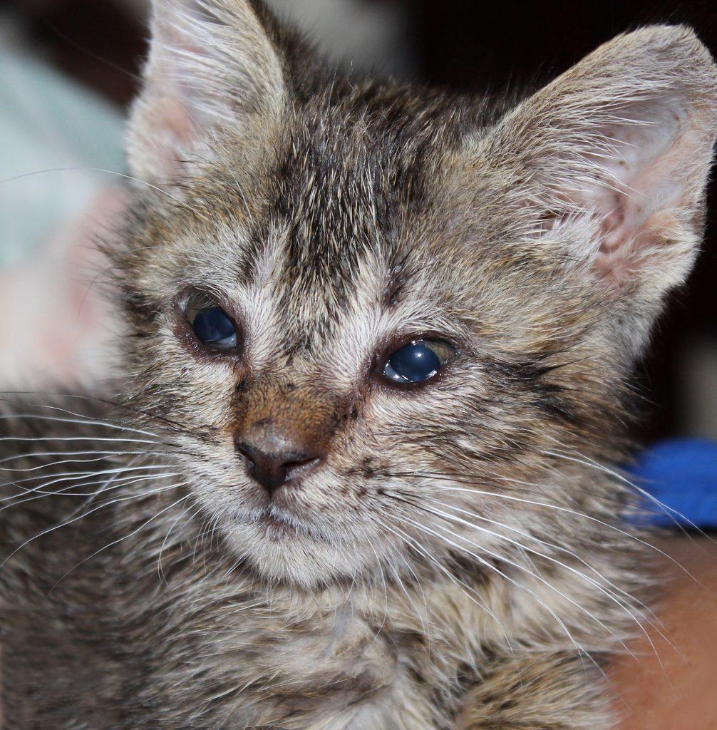 Ринотрахеит у кошек. диагностика и лечение