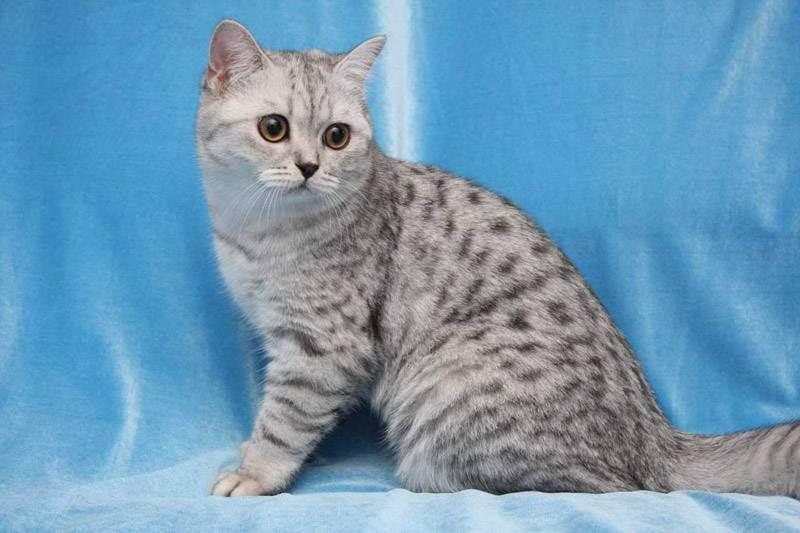 Окрас табби у британских кошек (фото)