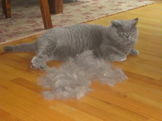 Когда у кошек в первый раз начинается течка, сколько дней длится и как часто бывает, что делать для успокоения питомицы?