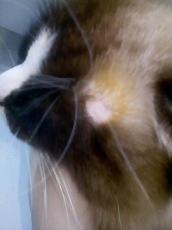 Почему у кошки появляются залысины?