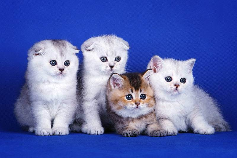 Остеохондродисплазия у шотландских вислоухих кошек признаки и лечение