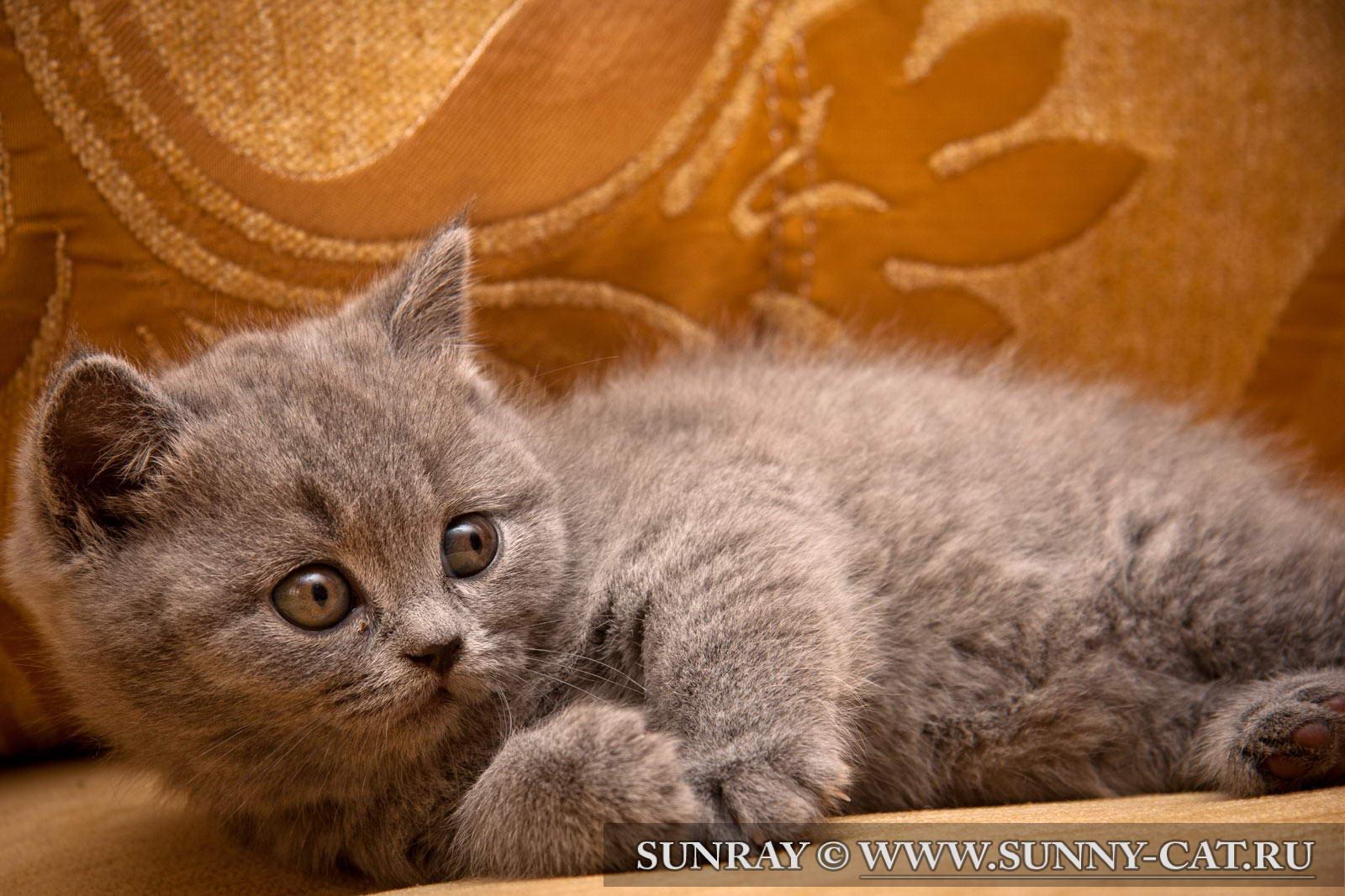 Как назвать кошек и котов британской породы: клички для мальчиков и девочек - британцев