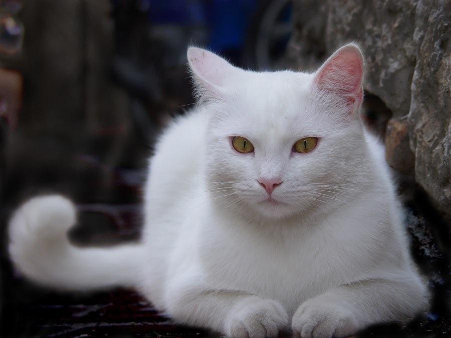 Белые кошки: как появляются, особенности характера, популярные породы