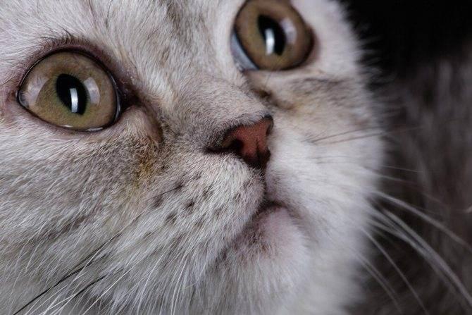 Слезятся глаза у британской кошки: что делать?