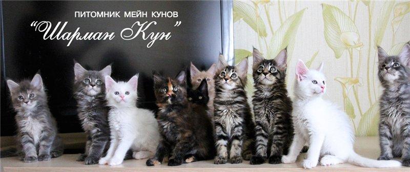 Как правильно подготовиться к родам кошки мейн кун?