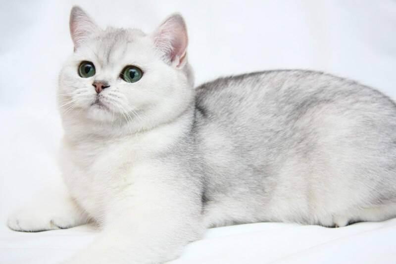 Виды кошачьих окрасов с фотографиями и названиями: какого цвета бывает шерсть у кошек?
