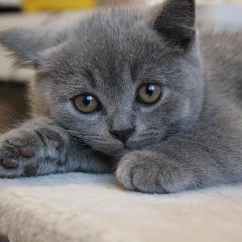 Как подобрать подходящую кличку для кота британца?