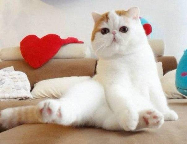 Экзотическая кошка (экзот): фото, описание породы и характера, цена котенка