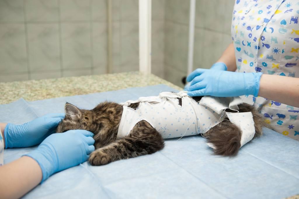 Стерилизация кошек: виды, способы, плюсы и минусы