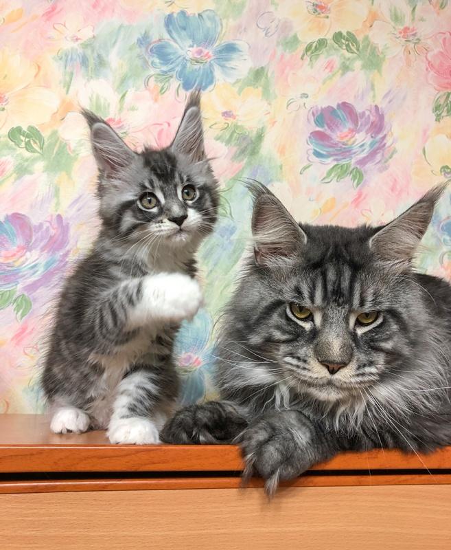 Чем отличается мейн-кун от обычной кошки - zhivomag