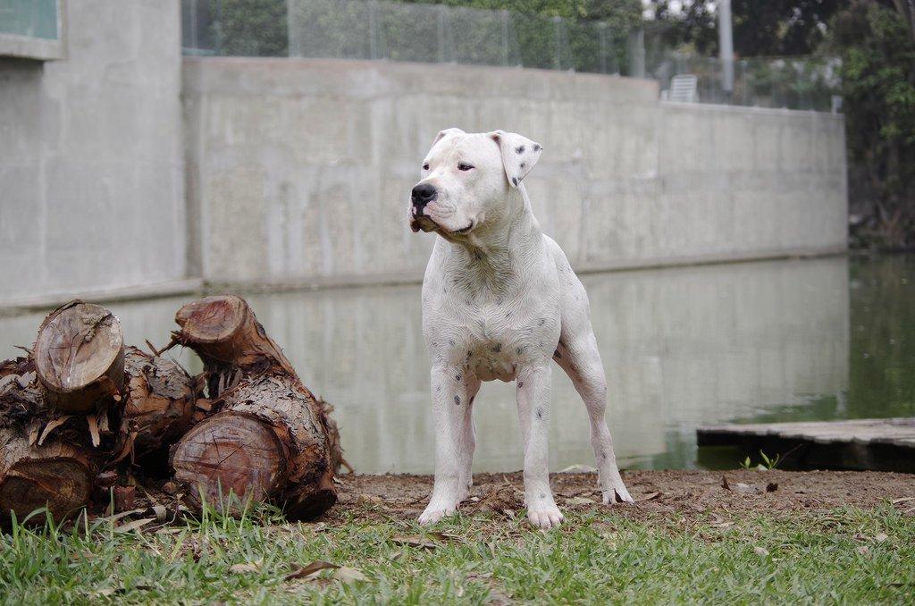 Эталон собачьей отваги и преданности: аргентинский дог