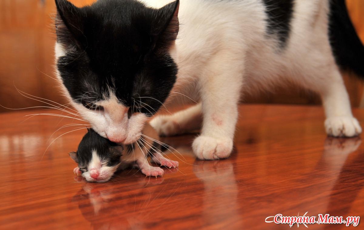 """Кошка тащит котят под диван из коробки. почему кошка таскает котят в зубах? породистость как причина кошачьей """"миграции"""""""