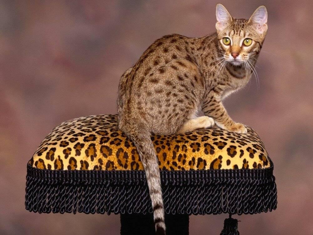 10 самых ласковых и спокойных кошек