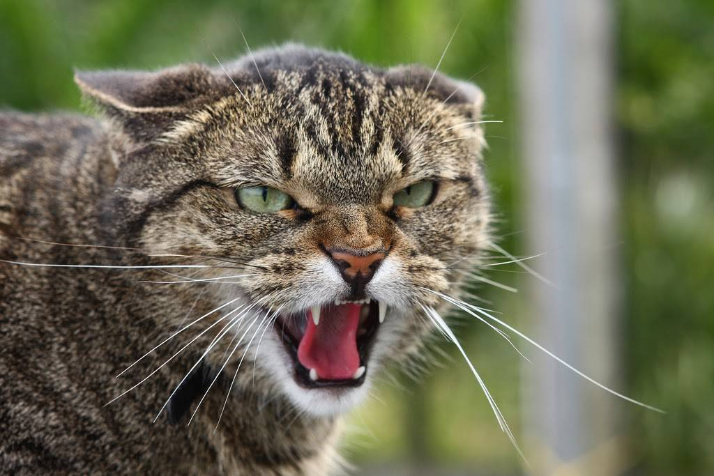 Признаки бешенства у кошек: симптомы