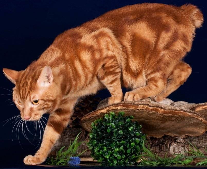 Какие существуют породы рыжих котов?