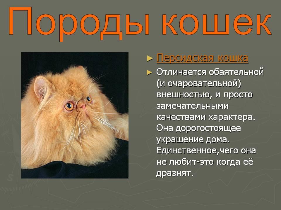 Персидские кошки: виды, описание породы, характер, советы по содержанию и уходу, фото персов