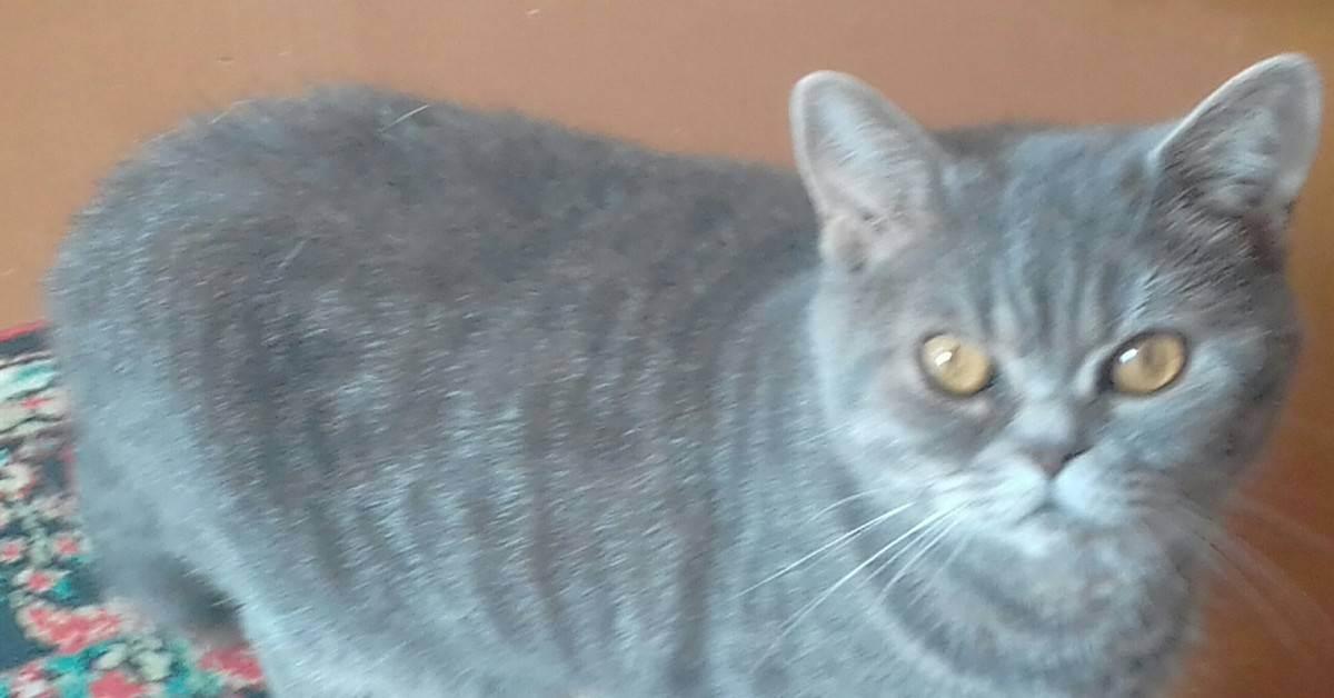 Первая линька у котят британской породы. котенок линяет - можно ли с этим бороться