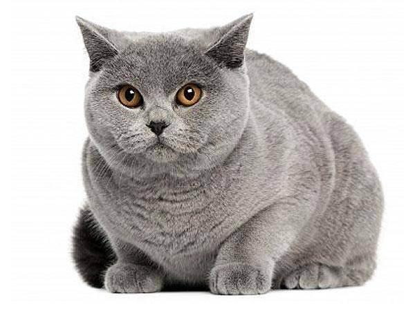 Чем кормить британского кота
