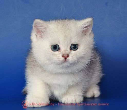 Сколько стоит британская кошка