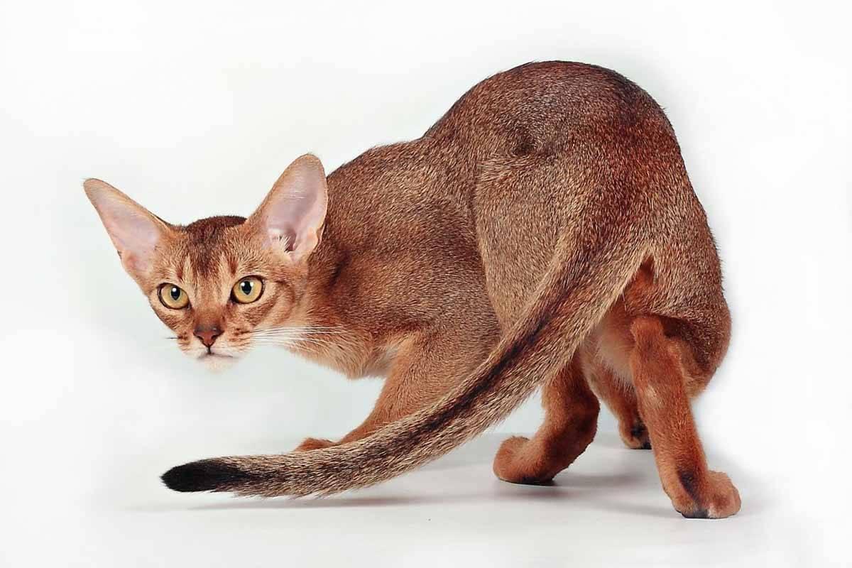 Абиссинская кошка: описание породы, происхождение, содержание и кормление