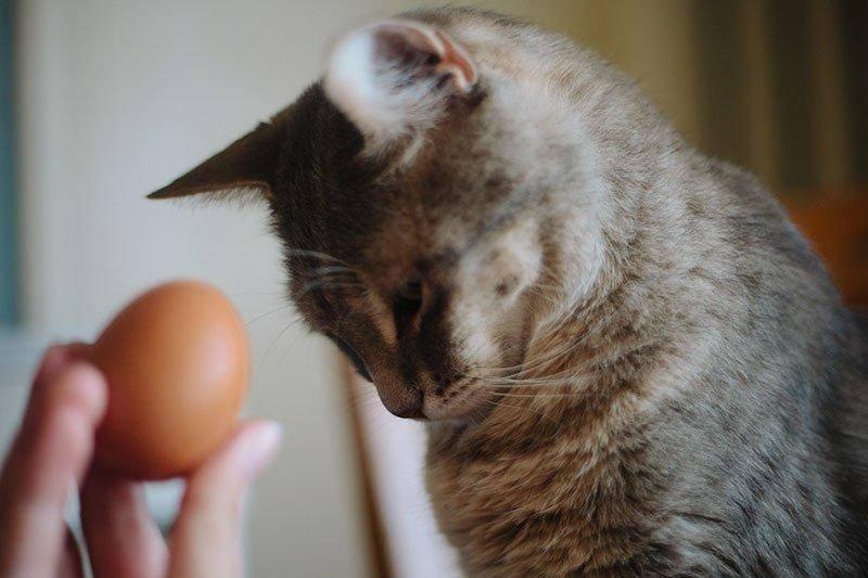 Можно ли кормить кошку сырой курицей: все особенности «кошачьей кулинарии»