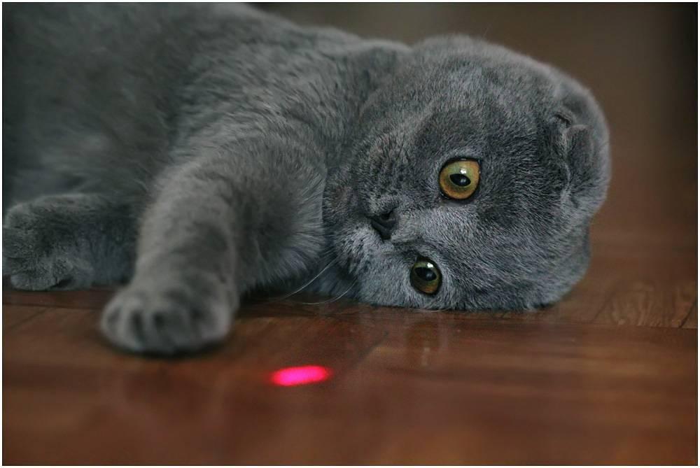 Характер шотландских вислоухих и прямоухих кошек и котов