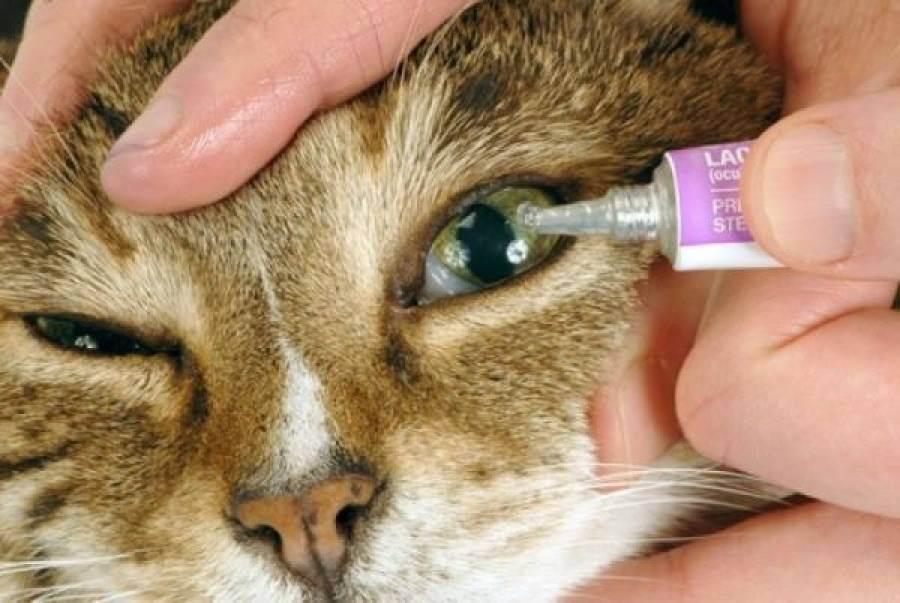Чем и как промыть глаза котенку   кошке, в домашних условиях