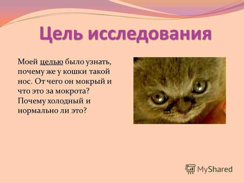 У котенка сухой нос: причины, горячий или очень холодный нос, что делать