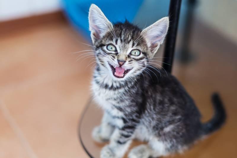 Кошка орет и просит кота: что делать и как ее успокоить в домашних условиях?