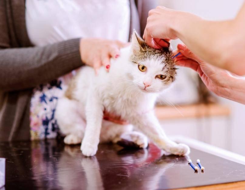 Как правильно почистить коту или котенку уши от серы и клещей в домашних условиях, как быть, если он не дает это делать?