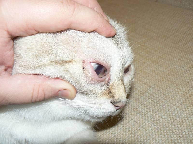 У котенка не открывается один глаз – что делать, чем можно промыть, возможные осложнения