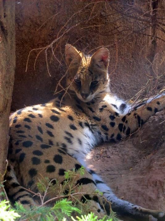 Сервал (кустарниковая кошка)