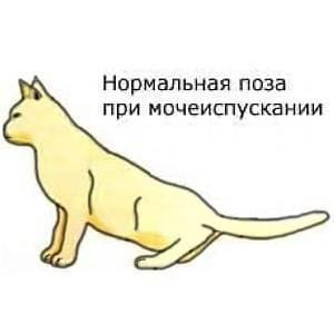 Мочекаменная болезнь у котов, причины - симптомы и лечение, первая помощь
