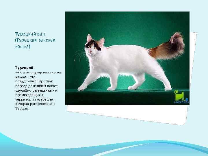 Турецкий ван: 5 поразительных вещей, которые следует знать про эту породу кошек