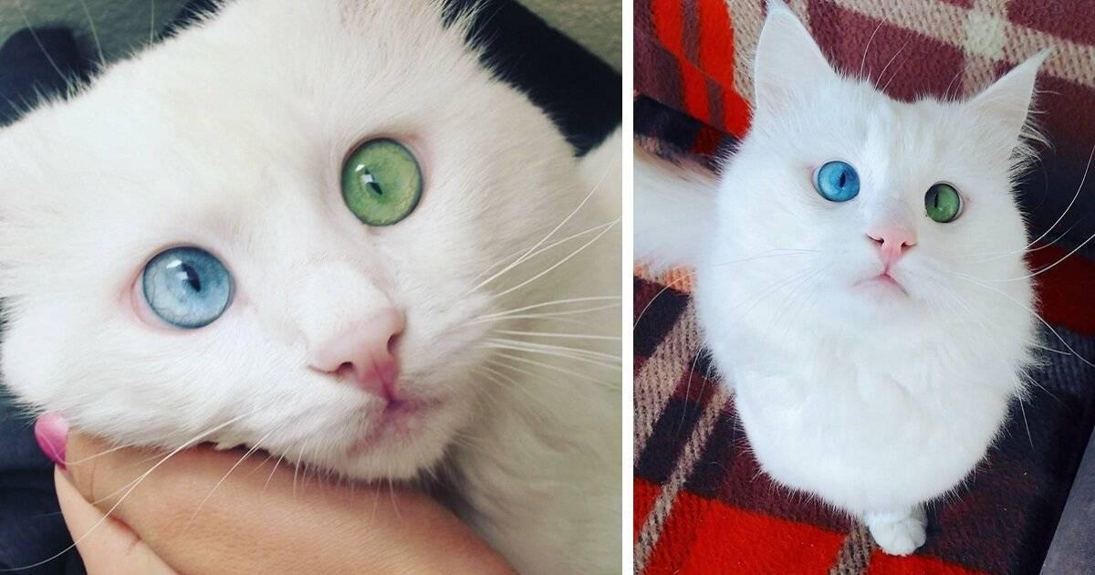 Когда меняется цвет глаз у британских котят?