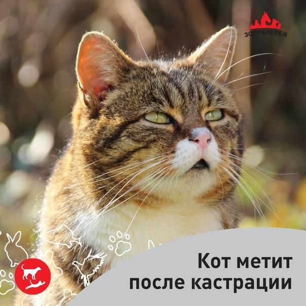 Почему кастрированный кот лезет на кошку: что делать?