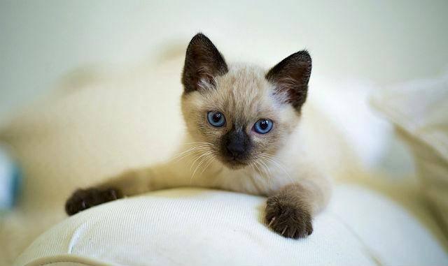 Продолжительность жизни сиамских кошек