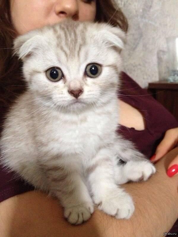 Шотландский вислоухий котёнок: как назвать питомца