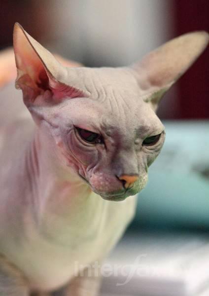 Гипоаллергенные породы кошек и котов по популярности