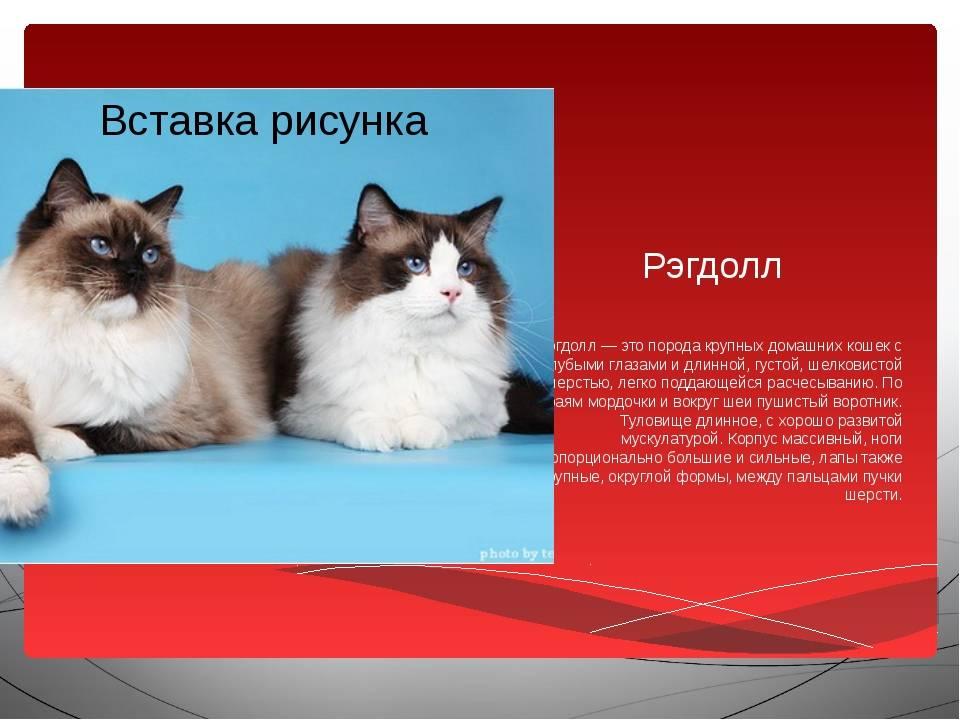 Рэгдолл: порода кошек с интересным окрасом, описание и фото, характер и сколько живут, стоимость котят и цена взрослых котов