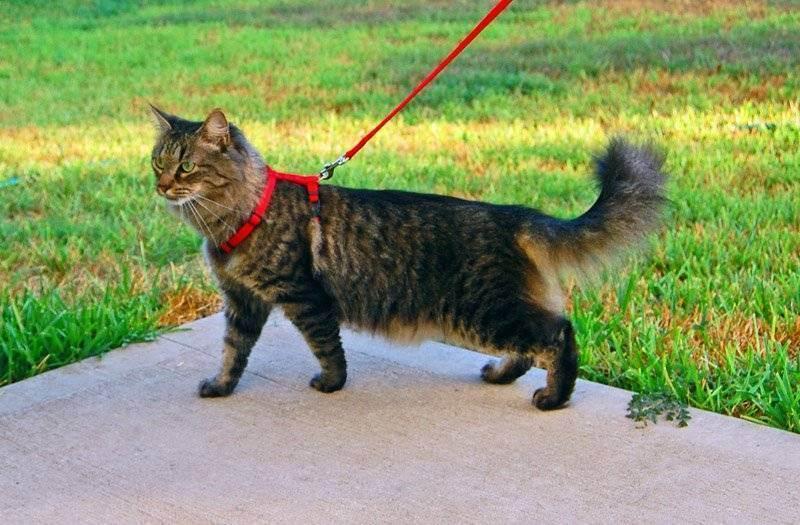 Как приучить кошку к шлейке: 9 шагов (с иллюстрациями)
