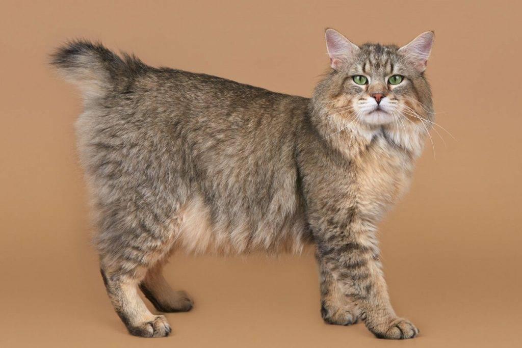 Породы кошек без хвоста: список пород