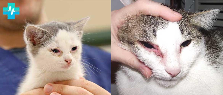Хламидиоз у кошек: симптомы и терапия