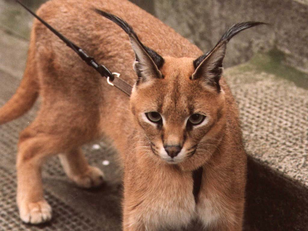 Кошки с большими ушами: список и название пород, описание, фото
